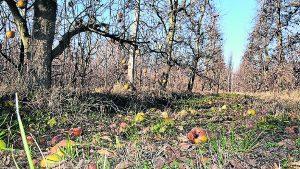 Manzanas Argentinas sin cosechar