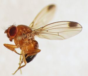 Drosophila suzukii macho
