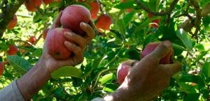 cosecha-manzanas