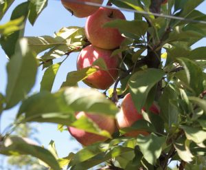 manzanasPMGConsorcioTecnologicodelaFrutaChile