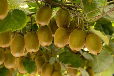 Temporada del kiwi chileno: buena calidad y condición de fruta en un mercado inestable